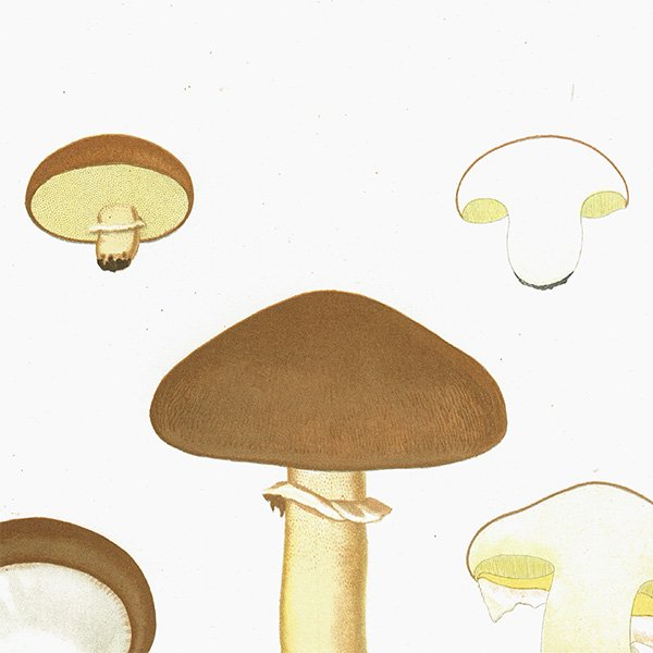スウェーデン アンティークボタニカル キノコプリント 植物画0091