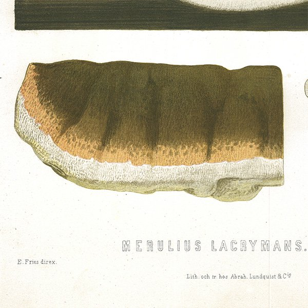 スウェーデン アンティークボタニカル キノコ断面図プリント 植物画0092
