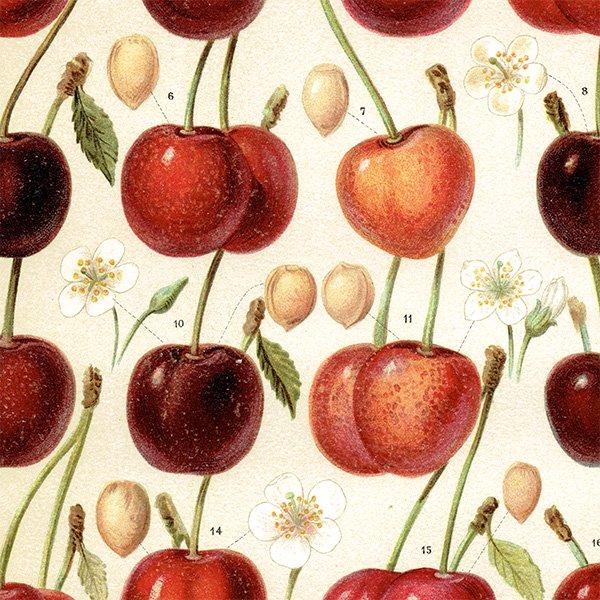 ドイツ アンティークボタニカル さくらんぼプリント 植物画0094