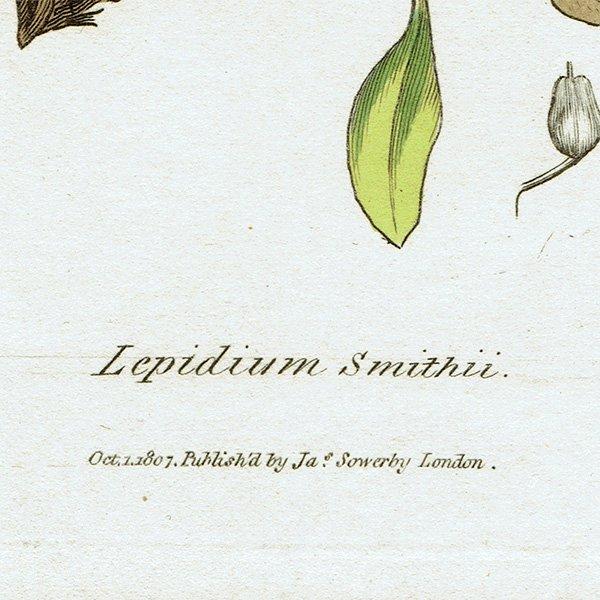 イギリス アンティークボタニカルプリント(ジェームズ・サワビー J.Sowerby) 植物画0105