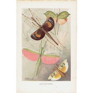 昆虫アンティークプリント(ORTHOPTERA・バッタ類)昆虫画 0059