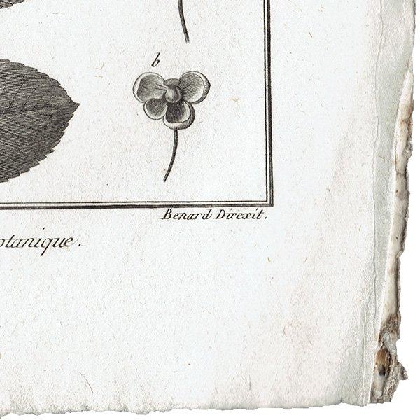 アンティークボタニカルプリント(HISTOIRE NATURELLE,Botanique:ルドゥーテ) 植物画0109