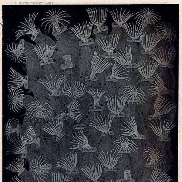 フランスアンティークプリント 海洋生物画|0002