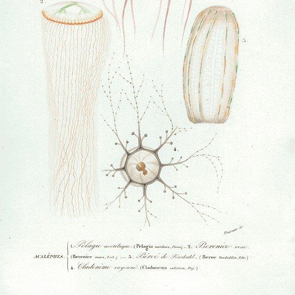 フランスアンティークプリント くらげ Dictionnaire universel d'histoire naturelle海洋生物画 0004