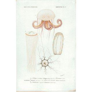 フランスアンティークプリント くらげ Dictionnaire universel d'histoire naturelle海洋生物画|0004
