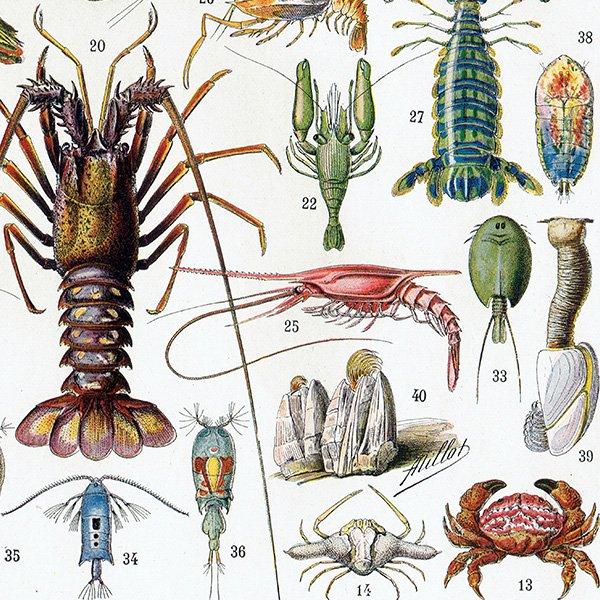 フランスアンティークプリント 甲殻類 海洋生物 博物画|0005