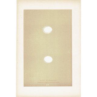 バードエッグ アンティークプリント キツツキ(WOODPECKER)の卵 0014