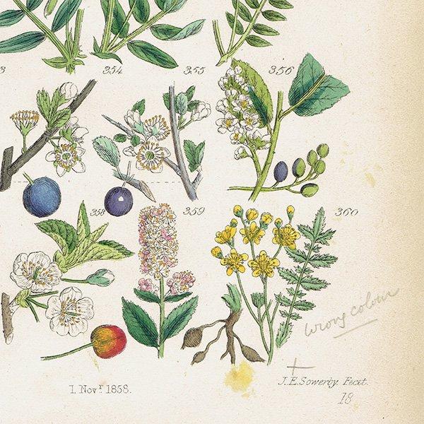 イギリス ボタニカルプリント/植物画(John Edward Sowerby) 0117