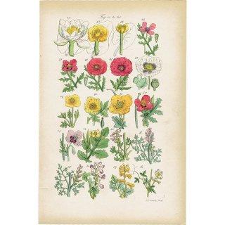 イギリス ボタニカルプリント/植物画(John Edward Sowerby) 0118