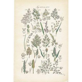 イギリス ボタニカルプリント/植物画(John Edward Sowerby) 0119