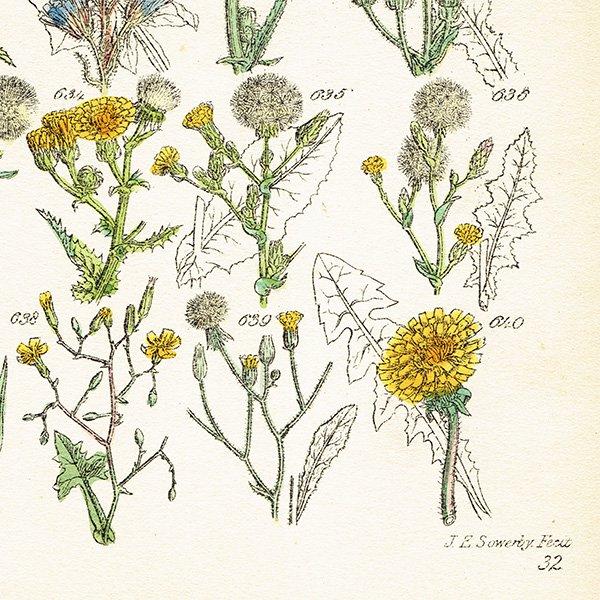 イギリス ボタニカルプリント/植物画(John Edward Sowerby) 0121