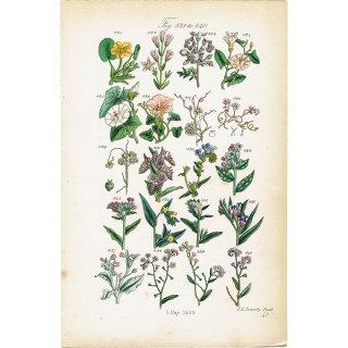 イギリス ボタニカルプリント/植物画(John Edward Sowerby) 0122