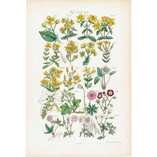 イギリス ボタニカルプリント/植物画(John Edward Sowerby) 0123