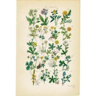 イギリス ボタニカルプリント/植物画(John Edward Sowerby) 0124