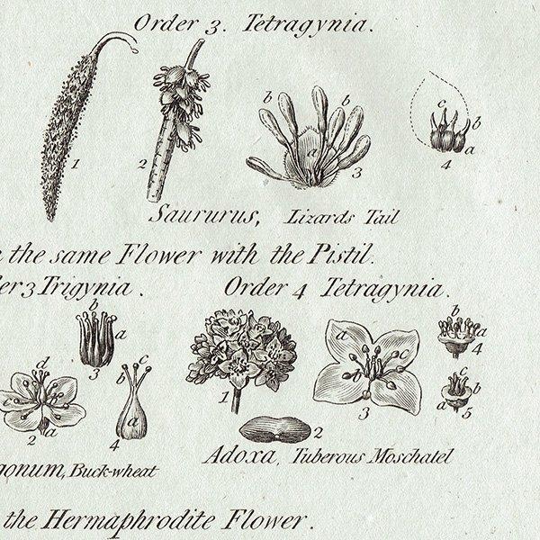 イギリス ボタニカルプリント/植物画BOTANY(1786) 0126