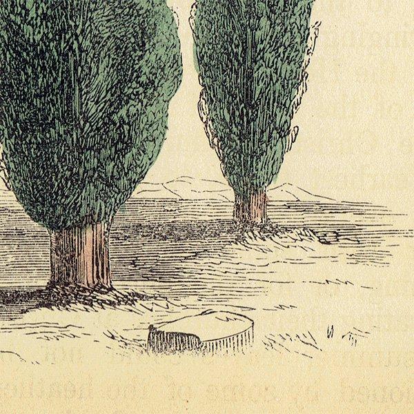 イギリス ボタニカルプリント/植物画 CYPRESS ヒノキ by Rev F. O. Morris(1856) 0128<img class='new_mark_img2' src='https://img.shop-pro.jp/img/new/icons5.gif' style='border:none;display:inline;margin:0px;padding:0px;width:auto;' />