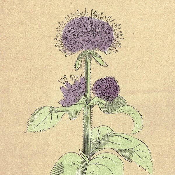 イギリス ボタニカルプリント/植物画 MINT ミント by Rev F. O. Morris(1856) 0129