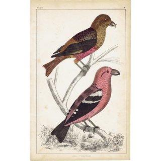 イギリスアンティークプリント 鳥 イスカ 博物画|0062