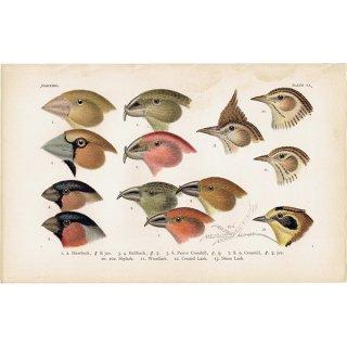 イギリスアンティークプリント 鳥 くちばし 博物画|0066