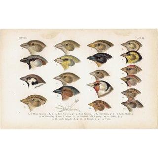 イギリスアンティークプリント 鳥 くちばし 博物画|0068