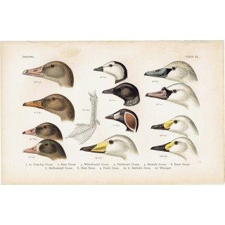 イギリスアンティークプリント 鳥 くちばし 博物画|0069