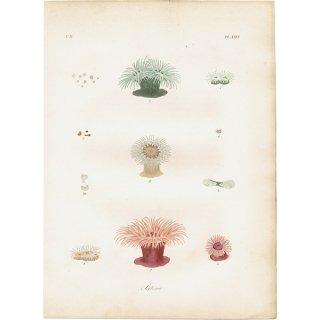 イギリスアンティークプリント イソギンチャク 海洋生物 博物画|0007