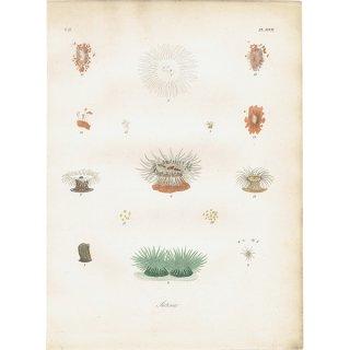 イギリスアンティークプリント イソギンチャク 海洋生物 博物画|0008
