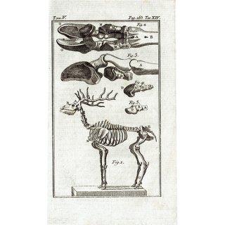 スケルトン Deer(鹿)の骨格 フランスの博物学者Buffon アンティークプリント  0073