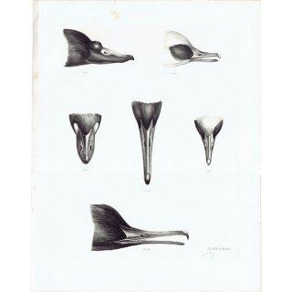 鳥のくちばし 鳥類学 アンティークプリント HELIOGRAPHY ヘリオグラフィ  0076