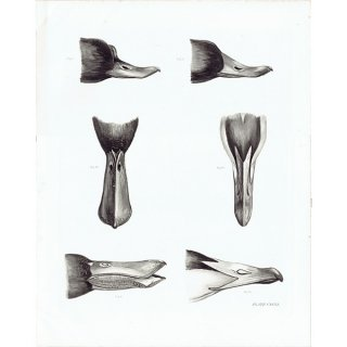 鳥のくちばし 鳥類学 アンティークプリント HELIOGRAPHY ヘリオグラフィ  0077