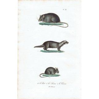 ねずみ アンティークプリント (Rat/Souris/Grison:Mme. Pillot) 1837年 0079