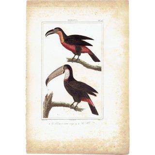 オオハシ アンティークプリント (トーカン toucan:Buffon) 1825年 0080