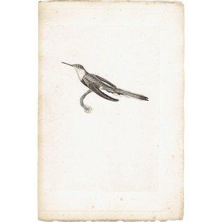 ハチドリ(ハミングバード)アンティークプリント 1835年 0082
