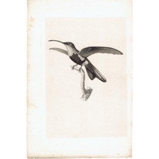 ハチドリ(ハミングバード)アンティークプリント 1835年 0083