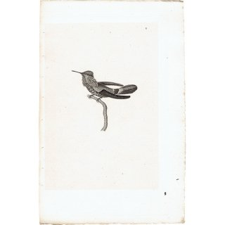 ハチドリ(ハミングバード)アンティークプリント 1835年 0084