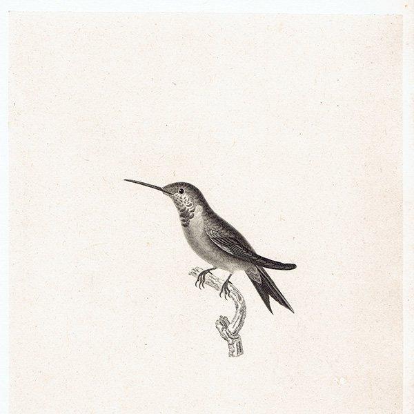 ハチドリ(ハミングバード)アンティークプリント 1835年 0085 ...
