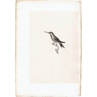 ハチドリ(ハミングバード)アンティークプリント 1835年 0085