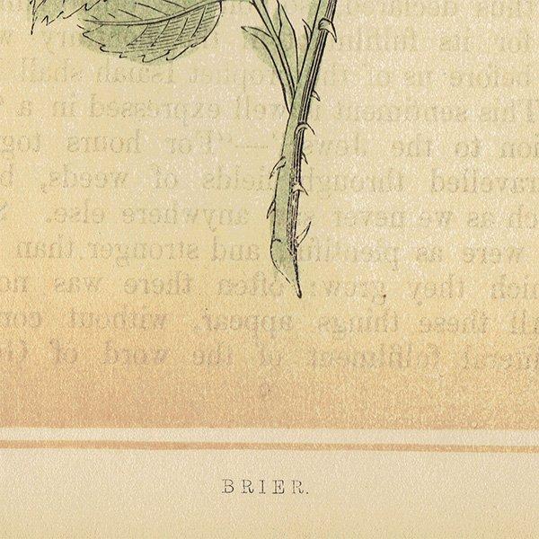 イギリス ボタニカルプリント/植物画 BRIER カニナバラ by Rev F. O. Morris(1856) 0131<img class='new_mark_img2' src='https://img.shop-pro.jp/img/new/icons5.gif' style='border:none;display:inline;margin:0px;padding:0px;width:auto;' />