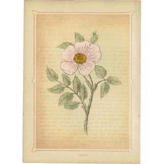 イギリス ボタニカルプリント/植物画 BRIER カニナバラ by Rev F. O. Morris(1856) 0131