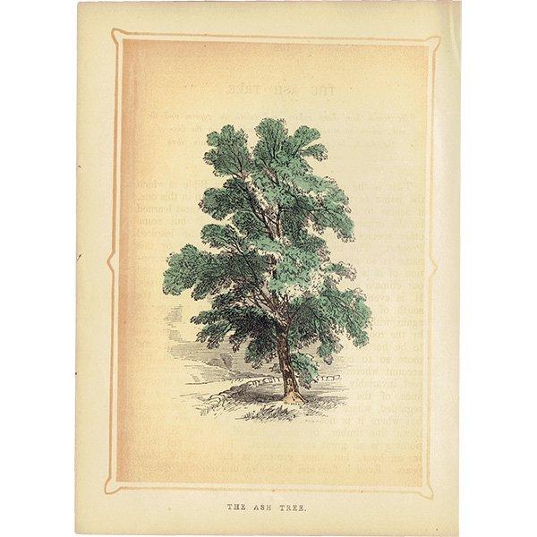 イギリス ボタニカルプリント/植物画 THE ASH TREE トネリコ by Rev F. O. Morris(1856) 0132<img class='new_mark_img2' src='https://img.shop-pro.jp/img/new/icons5.gif' style='border:none;display:inline;margin:0px;padding:0px;width:auto;' />
