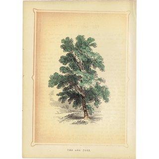 イギリス ボタニカルプリント/植物画 THE ASH TREE トネリコ by Rev F. O. Morris(1856) 0132