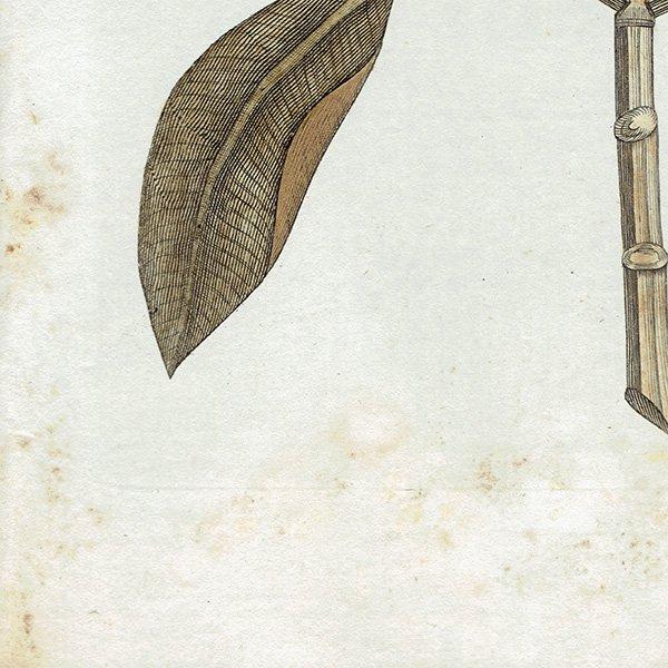 イギリス ボタニカルプリント/植物画 Garcinia(ガルシニア) ,1797 Andrew Bell (1726-1809) 0134<img class='new_mark_img2' src='https://img.shop-pro.jp/img/new/icons5.gif' style='border:none;display:inline;margin:0px;padding:0px;width:auto;' />
