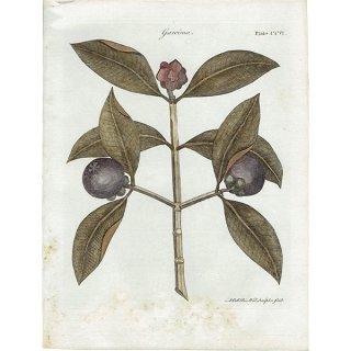 イギリス ボタニカルプリント/植物画 Garcinia(ガルシニア) ,1797 Andrew Bell (1726-1809) 0134