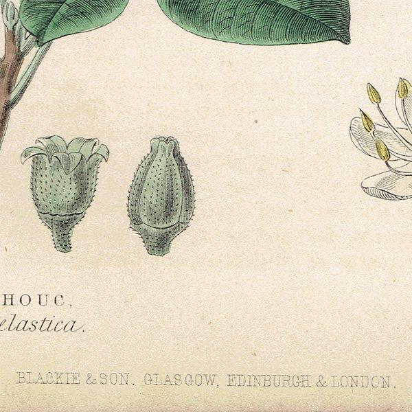 イギリス ボタニカルプリント/植物画 GUM PLANTS ,1868 William Rhind 0136<img class='new_mark_img2' src='https://img.shop-pro.jp/img/new/icons5.gif' style='border:none;display:inline;margin:0px;padding:0px;width:auto;' />