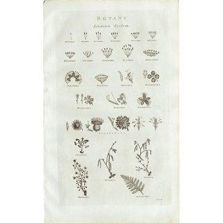 イギリス ボタニカルプリント/植物画BOTANY(1786) 0144