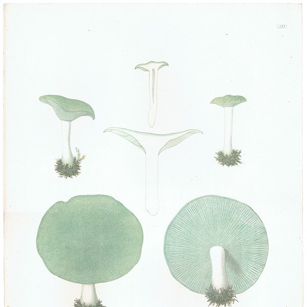 スウェーデン アンティークボタニカル キノコプリント 植物画0147