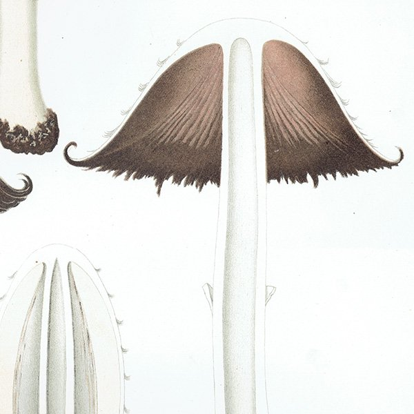 スウェーデン アンティークボタニカル キノコプリント 植物画0148