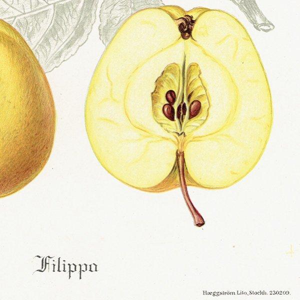 スウェーデン リンゴのアンティークボタニカルプリント(アップル) 果実学 植物画0152
