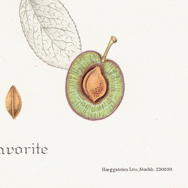 スウェーデン プラムのアンティークボタニカルプリント(Plum)果実学 植物画0164