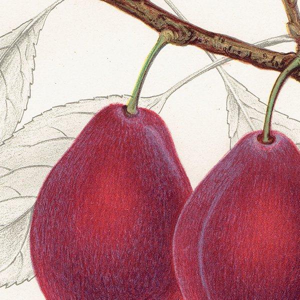 スウェーデン プラムのアンティークボタニカルプリント(Plum)果実学 植物画0160
